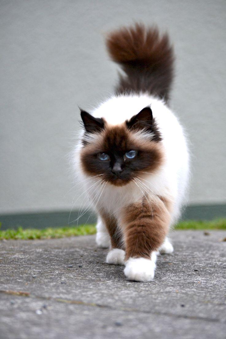 世界の猫の価格ランキングトップ10 その1
